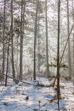 Frosty morning. A spruce and pine forest in frosty cold winter morning royalty free stock photography