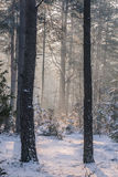 Frosty morning. A spruce and pine forest in frosty cold winter morning stock photos