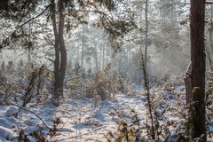 Frosty morning. A spruce and pine forest in frosty cold winter morning stock images