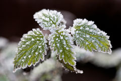 Frosty nettle. Green frost encrusted nettle with a dark background stock images