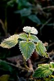 Frosty nettle Stock Photography