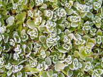 Frosty november morning. Photo of leaves on a frosty morning in Tuscany royalty free stock photos