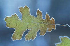 Frosty oak leaf close-up Stock Photo