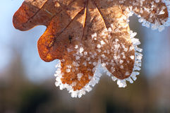Frosty oak leave Stock Photos