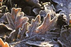Frosty oak leaves Stock Photo