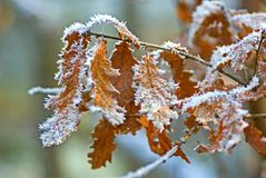 Frosty oak leaves stock images