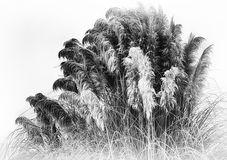 Frosty Pampas Grass Royalty Free Stock Images