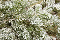 Frosty Pine Branches Royalty Free Stock Photography