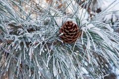 Frosty Pine Cone Fotografie Stock