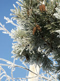 Frosty Pine Cones. A pine tree covered in hoarfrost - closeup view of needles and cones Royalty Free Stock Image