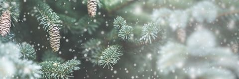 Frosty Pine Cones royalty free stock photo