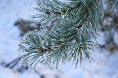 Frosty pine Stock Image