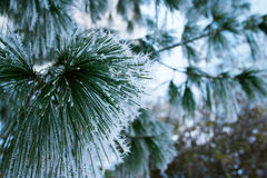 Frosty pine Stock Photography