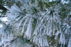Frosty pine Royalty Free Stock Photos