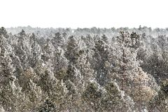 Frosty Pine Forest em Colorado fotografia de stock