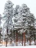 Frosty Pine Forest i Colorado royaltyfri bild