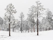 Frosty Pine Forest i Colorado arkivfoto
