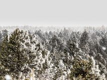 Frosty Pine Forest i Colorado royaltyfria bilder