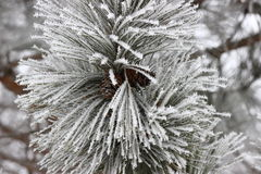 Frosty Pine Royalty Free Stock Images
