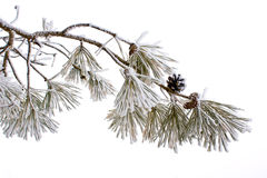 Frosty pine. Hoar frost on a pine tree in winter Royalty Free Stock Photo