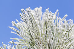 Frosty pine leaf. Macro photograph of frosty pine leaf with blue sky Stock Photography
