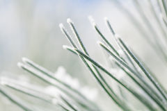Frosty pine leaf. Macro photograph of frosty pine leaf with shallow depth of field Royalty Free Stock Photo
