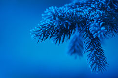 Frosty pine needles on blue evening light Royalty Free Stock Image