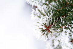 Frosty pine tree Royalty Free Stock Photos