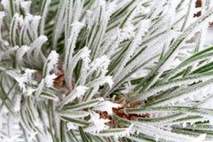 Frosty Pine Tree Stock Photo