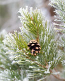 Frosty pine tree Stock Photo
