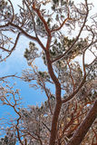 Frosty pine tree branch Stock Photography