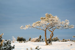 Frosty pine tree in a winter landscape Stock Images