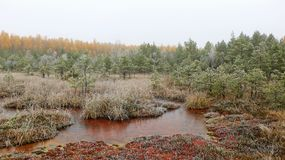Fog in winter swamp trail with sulfur pond. Frosty pine trees in fogy winter swamp trail with red sulfur pond royalty free stock images