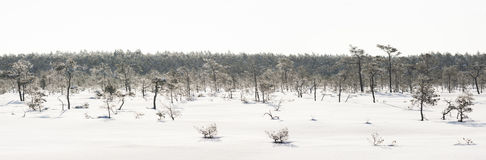 Frosty pine trees in marsh early in the morning Stock Image