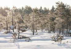 Frosty pine trees in marsh early in the morning Stock Photography