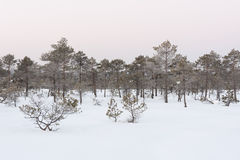 Frosty pine trees in marsh early in the morning Stock Images