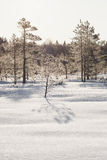 Frosty pine trees in marsh early in the morning Royalty Free Stock Photo