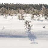 Frosty pine trees in marsh early in the morning Royalty Free Stock Image