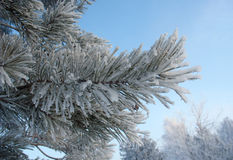 Frosty pine twig Stock Image