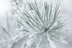 Frosty pine twigs in winter covered with rime Royalty Free Stock Photo
