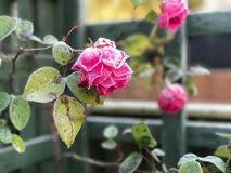 Frosty pink rose with blurred background. Frosted rose against a green fence blurred in the background Stock Photo