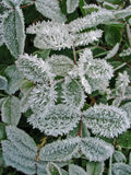 Frosty plant Royalty Free Stock Images