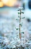 Frosty plant Royalty Free Stock Photo