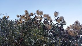 Frosty Plant Clematis Seed Heads. Clematis Tangutica seed heads winter photograph against a blue sky. The plant is frozen with frost on the leaves and fluffy stock photography