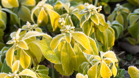 Frosty plant Stock Photography