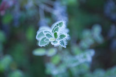 Frosty plant in winter. Macro view of frosty plant leaves in winter with green background stock images