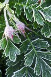 Frosty plants in late fall. Macro of frosty plant leaves in late fall Royalty Free Stock Images