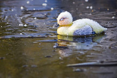 Frosty Plastic Duckling on Ice Royalty Free Stock Photography