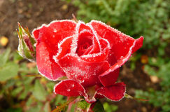 Frosty queen. Garden rose after first frosty night Stock Images