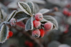Frosty red berries Royalty Free Stock Image